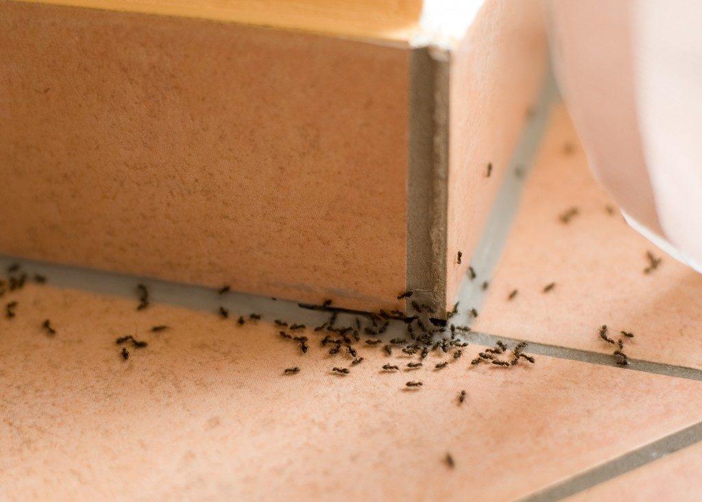 Ants pest inside of home